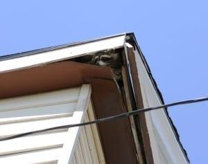 Rotten wood repair - raccoon in attic